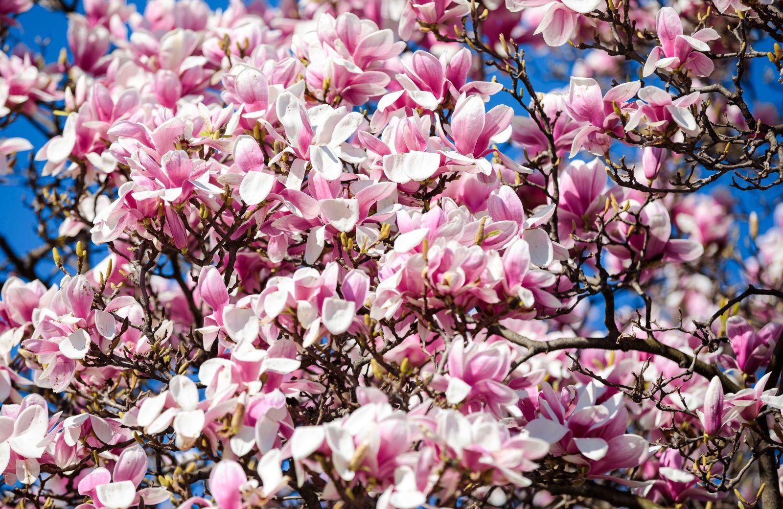zagreb-cvijeće-magnolija-cvijet-tomislavac