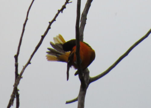 Northern Oriole, Baltimore Oriole
