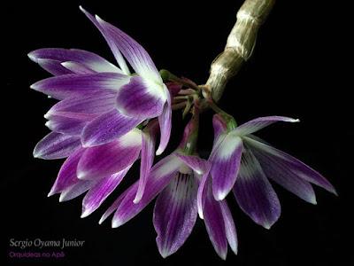 Orquídea Dendrobium victoria-reginae