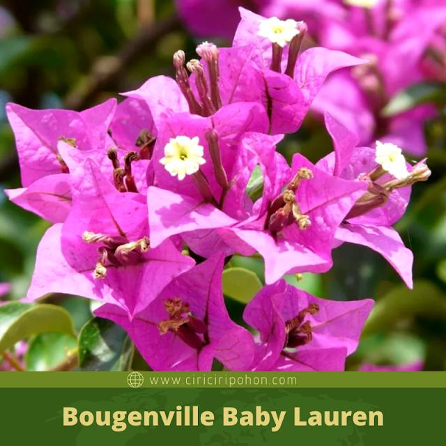 Ciri Ciri Pohon Bougenville Baby Lauren