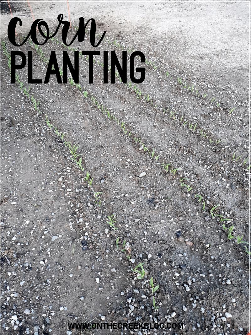 planting sweet corn late in the season