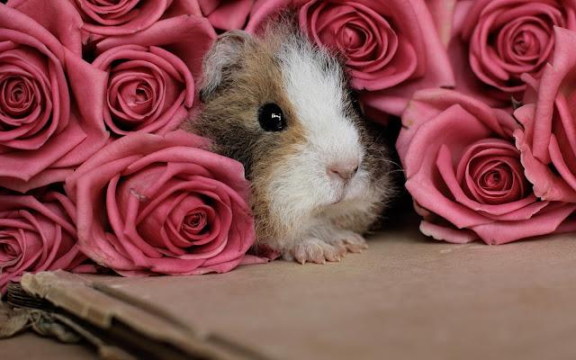 Cavia wallpaper met een cavia tussen de roze rozen