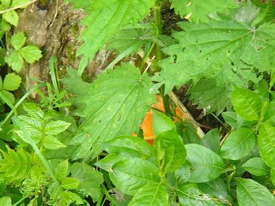 grzyby 2017, grzyby w maju, szukanie grzybów na koniu, żółciak siarkowy, żagiew łuskowata
