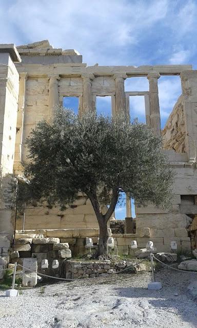 Sacred olive tree of the Acropolis. Athens. Greece  Photo by Gianna Arax
