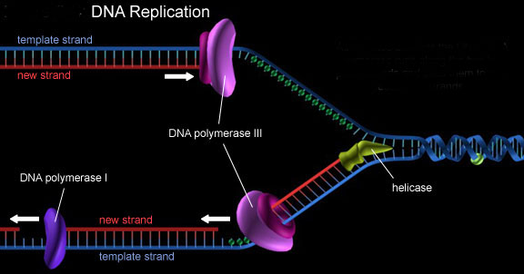 Unseen Rare Collection     DNA    Structure Strand Replication Molecule Transcription Helix