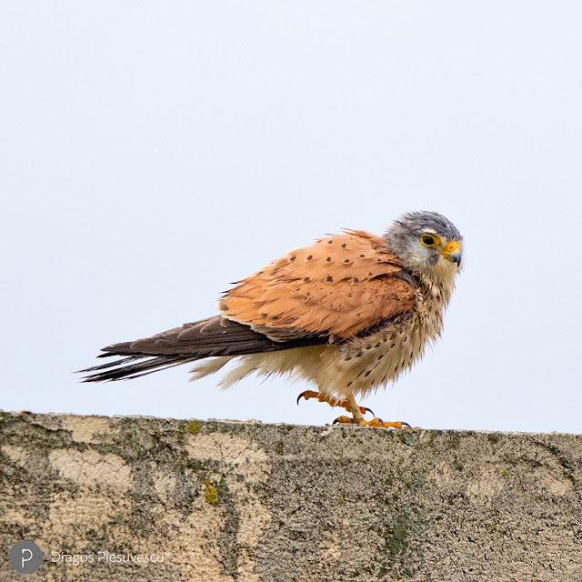 Vânturel roșu (Common Kestrel / Falco Tinnunculus), văzut lângă Lacul Morii, București