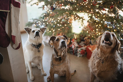 Three dogs are sitting in front of a Christmas tree and are looking up expectantly