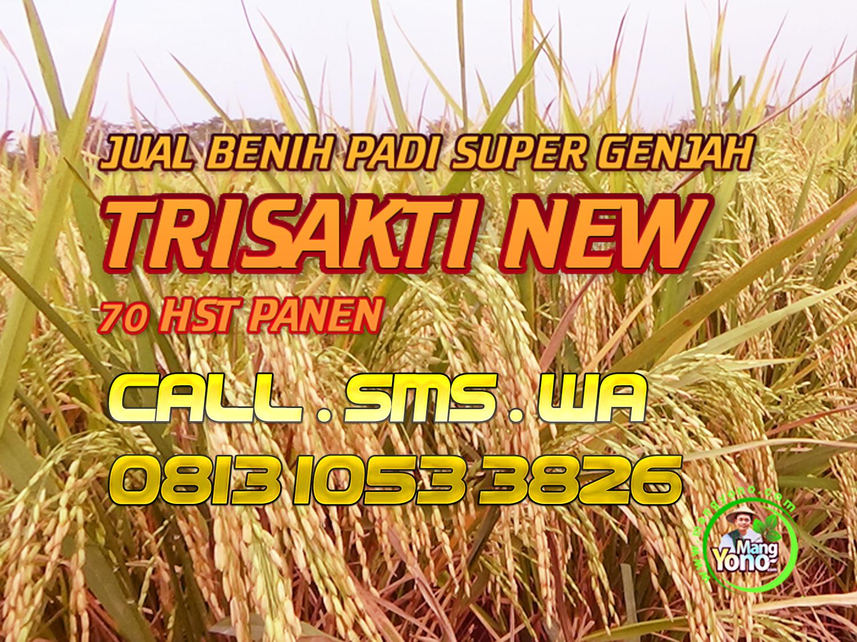 Jual Benih Padi Super Genjah TRISAKTI NEW 70 HST Panen