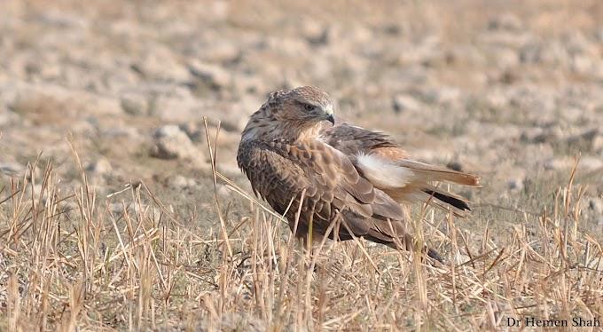 Long Legged Buzzard..  Banni area of Kachchh, Gujarat, India
