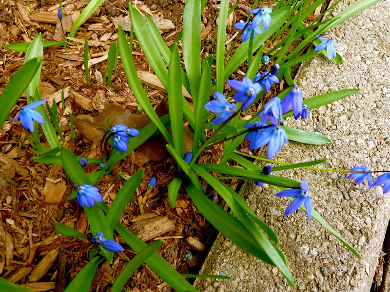 Astrid's Garden Design: Blue in the garden