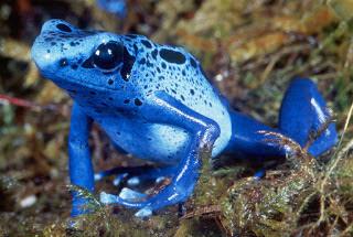 10 Spesies Katak Paling Beracun Di Dunia + Foto Katak Beracun
