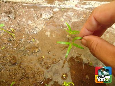 Cara menanam kangkung darat di pot