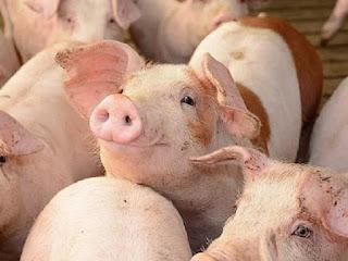 Những thức ăn dễ gây ngộ độc hoặc khó tiêu đối với lợn