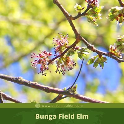 Ciri Ciri Bunga Field Elm