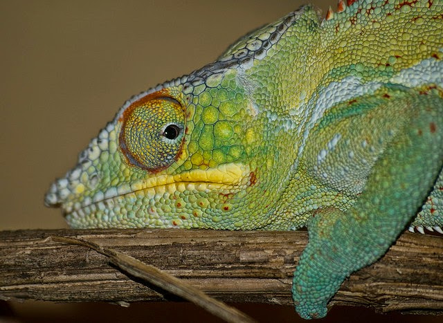 Panther chameleon at Marwell Zoo photo by William Warby