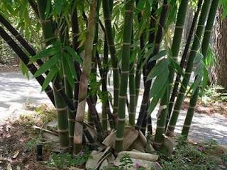 gambar bambu hias sian
