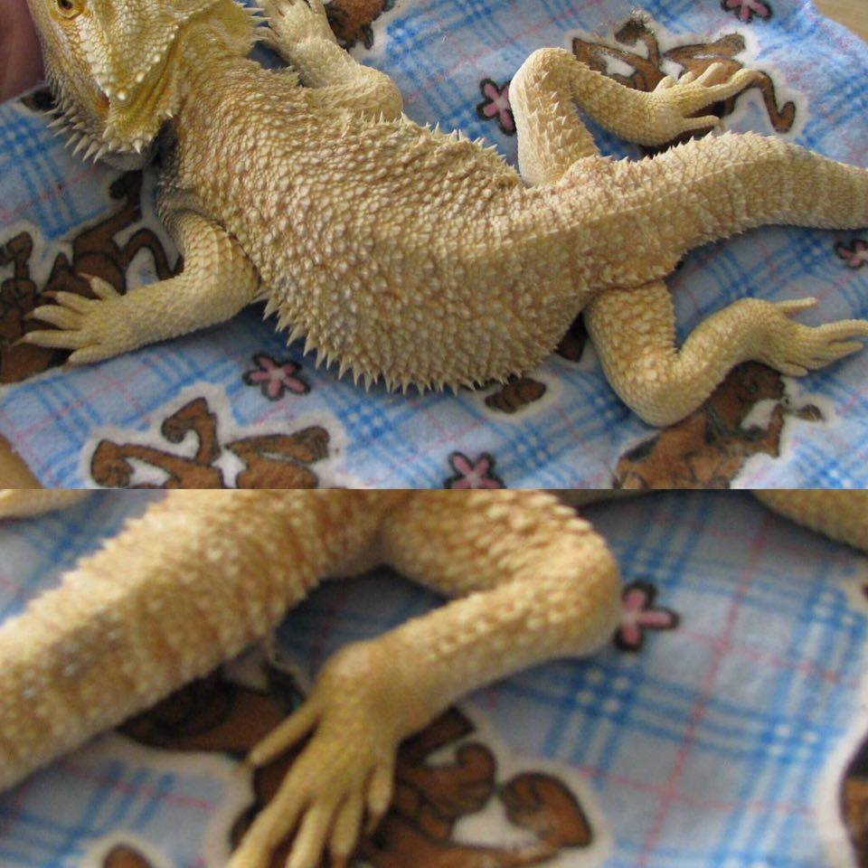 Sarah S Bearded Dragon Rescue Gout In Beardies