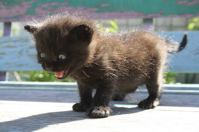 Kitten Filled with Anxiety About to Attack