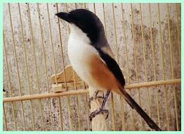 Istilah burung cendet miyik di kalangan Cendet Mania mungkin istilah ini sudah tidak abnormal  Cara Mengatasi Burung Cendet Miyik