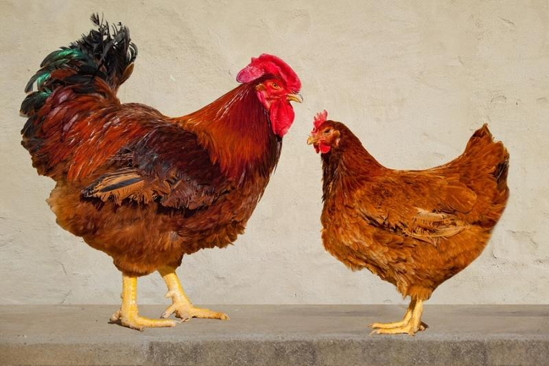 우리나라 토종닭 4품종, 가축다양성정보시스템(DAD-IS) 등재
