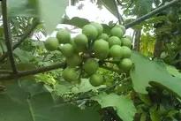 ما هو  نبات جوربيبا ومميزاته