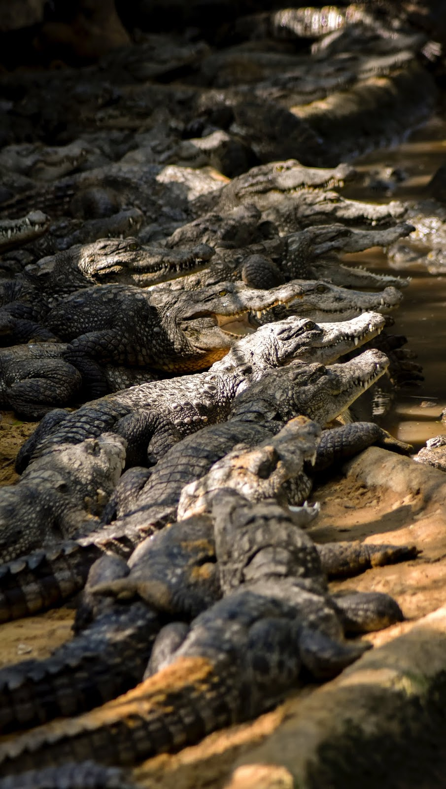 A menacing group of crocodiles.