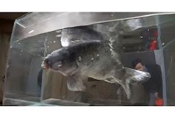 Ikan Beku Ini Dimasukkan ke Dalam Air, Ini yang Terjadi