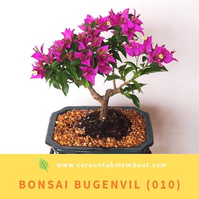 Bonsai Bugenvil (010)