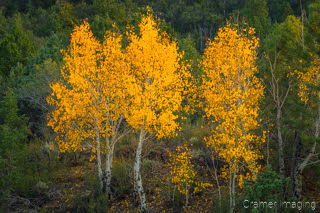 Cramer Imaging's fine art nature photograph of golden yellow leaves on trees in Autumn in Utah