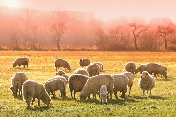 Cara Budidaya Ternak Domba