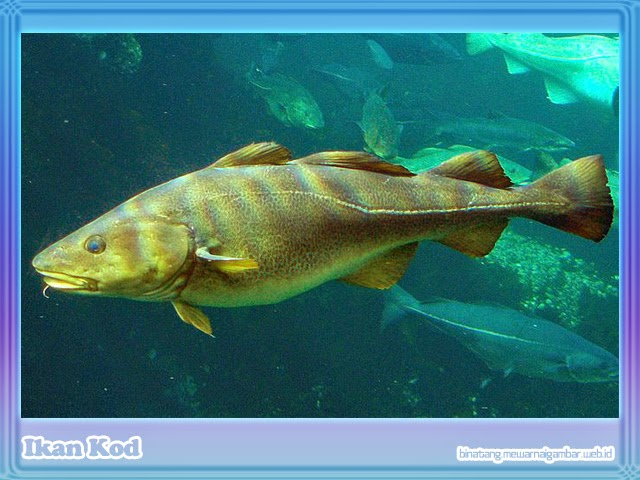 gambar ikan kod
