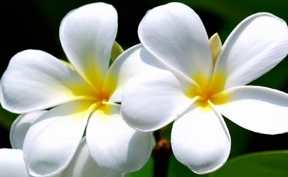 Nama Ilmiah Bunga Kamboja dan Beragam Manfaatnya