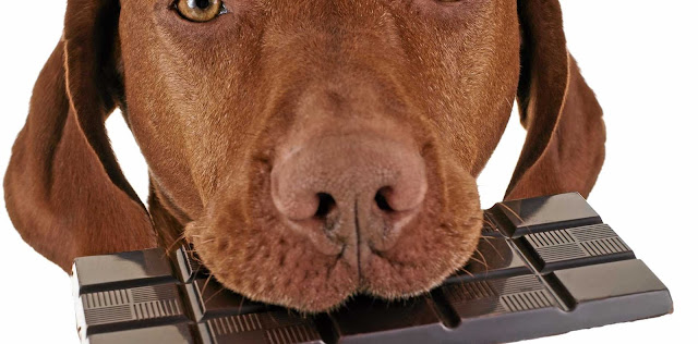 Why Chocolate Is Bad for Dogs: The Dangers of Chocolate for Dogs