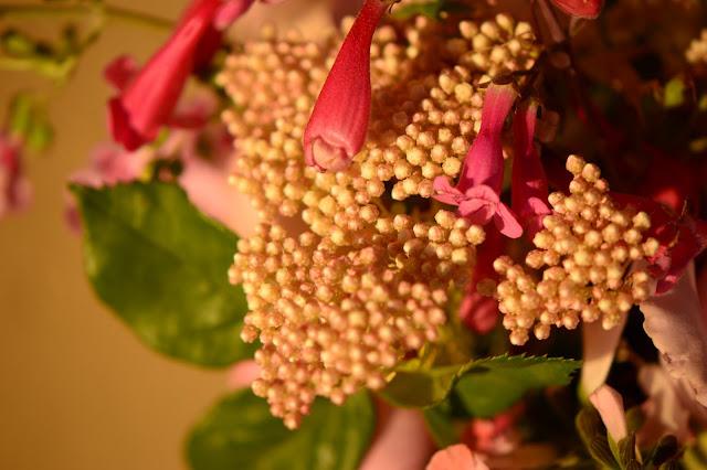 ozothamnus diosmifolius, monday vase meme, small sunny garden, amy myers, desert garden, penstemon