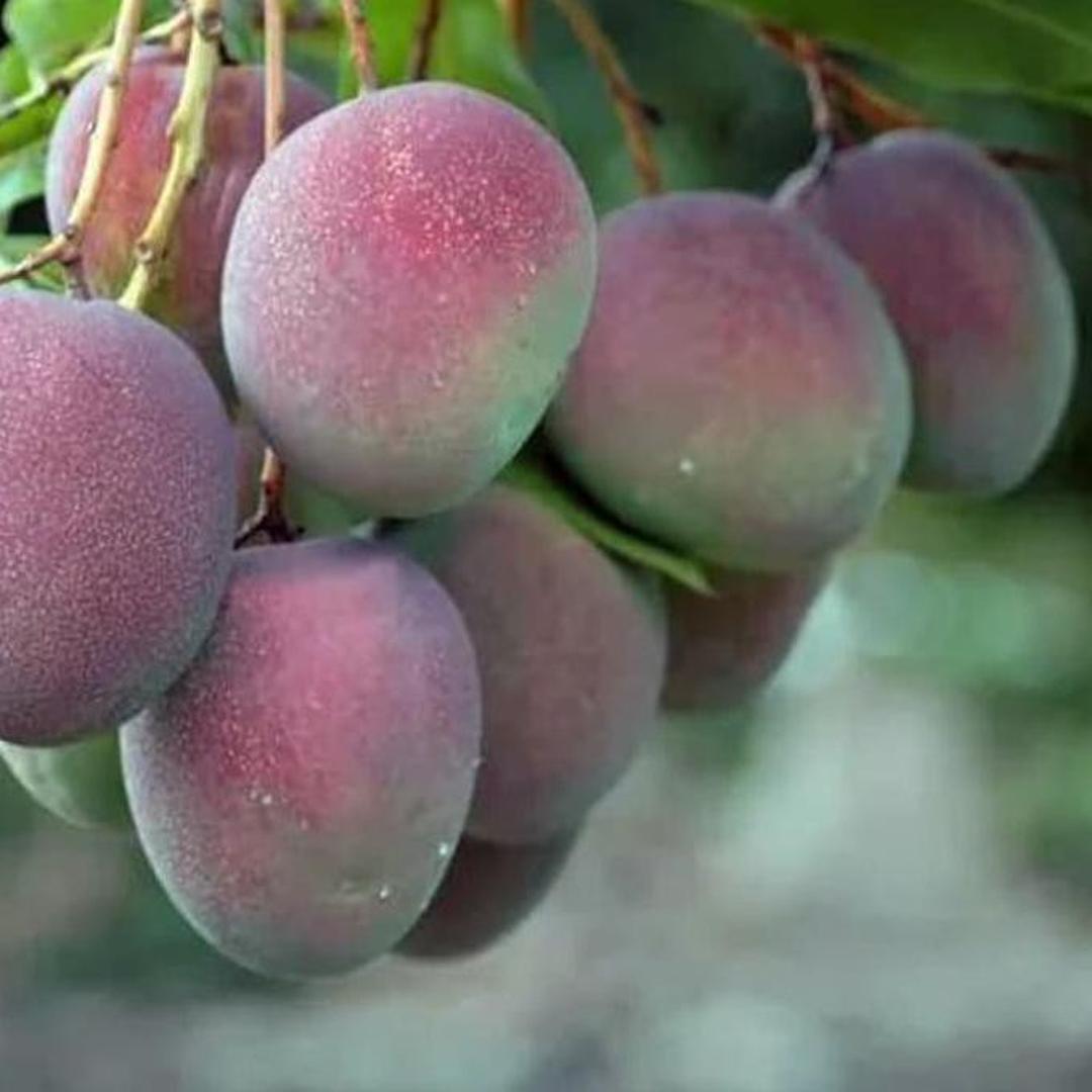 Obral! H3O Bibit Pohon Mangga Apel Tanaman Buah Manggah Appel Merah Kota Kediri #bibit buah buahan