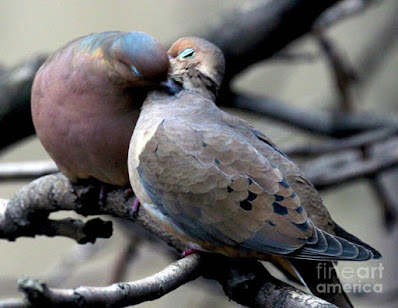 This is a screen shot of print which I'm selling on Fine Art America. It has been rendered on to special art paper features two very amorous Mourning doves. Info is @ https://fineartamerica.com/featured/cooing-mourning-doves-2-patricia-youngquist.html?product=art-prin