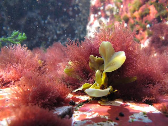 Kallioinen merenpohja, jossa kasvaa eniten punalevää, jonka joukossa kasvaa pieni vihertävä rakkohaurun alku.