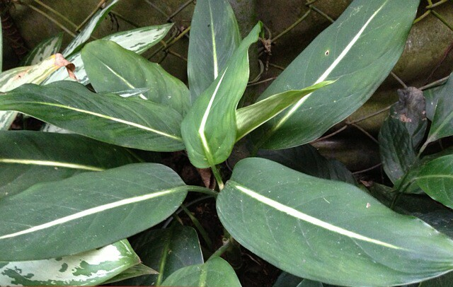 Especie Aglaonema brevispathum