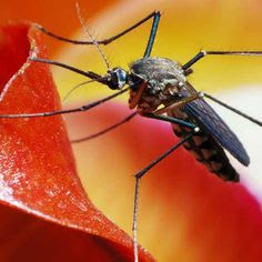 Vector Borne Disease Infection from Dengue Virus