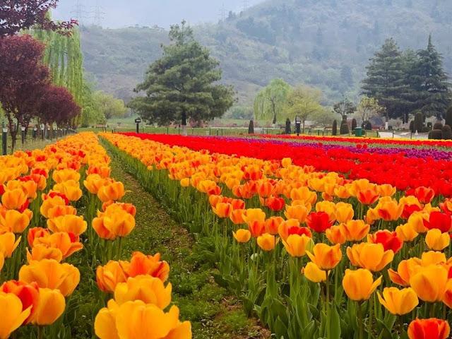 Beautiful Tulip Flower Farming In States Of India