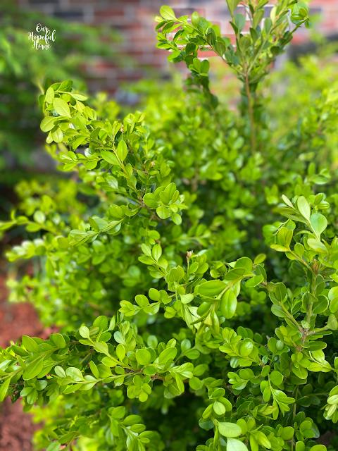green leaves boxwood bush