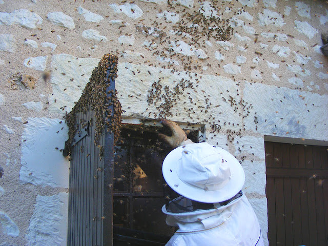 Brushing feral honey bees into a box during a rescue operation, Indre et Loire, France. Photo by Loire Valley Time Travel.