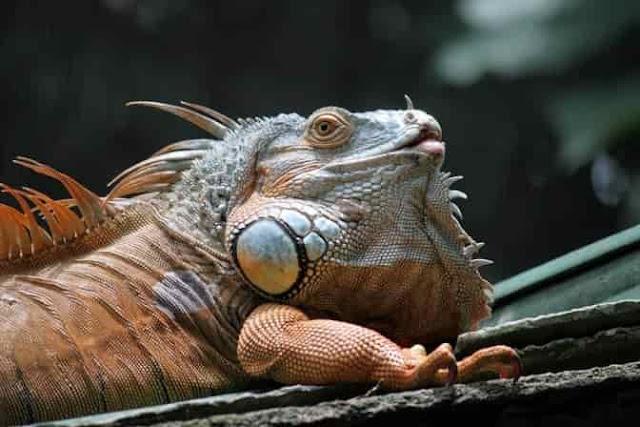Care of Iguana