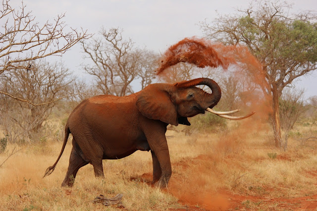 Elephant throw soil with nose image