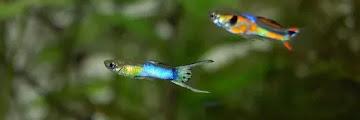 Klasifikasi Ikan Guppy dan Morfologi Ikan Guppy