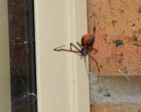 The outside corner of the kitchen window and windowsill. A redback spider is perched in a web in this corner displaying the bright red band on its abdomen.