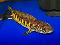 Channa Asiatica (Chinesse Snakehead)