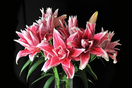 unique roselily varieties