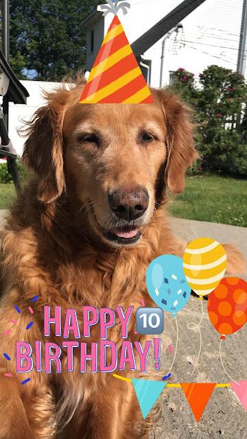 golden retriever dog's 10th birthday celebration