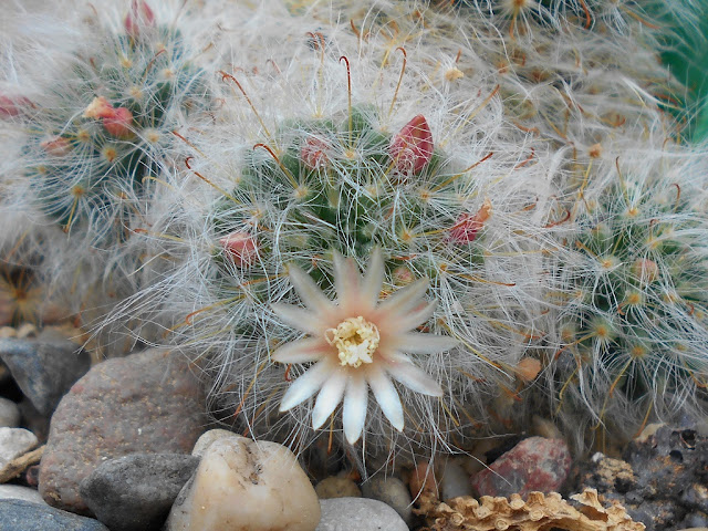 "Cactus ""en polvo"" ( Mammillaria bocasana)"